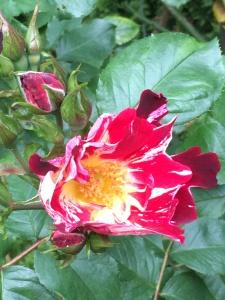 2016-05-03 Portland - Washington Park Rose Garden 5